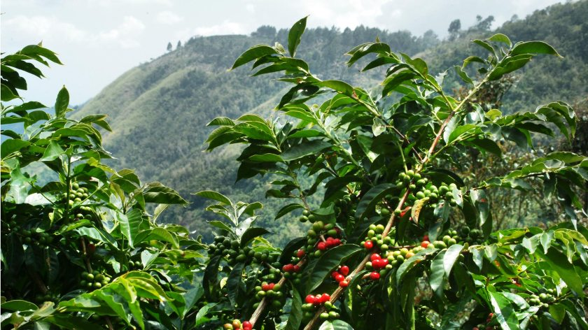 Jamaican-Blue-Mountain-Coffee-Tree.jpg